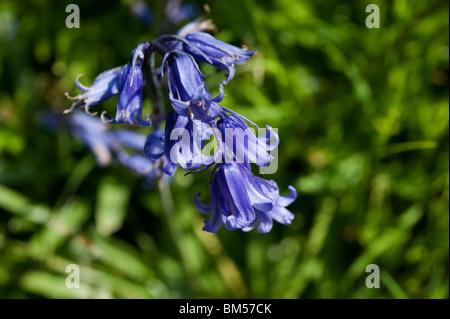 Bluebells, or Hyacinthoides non-scripta or  Endymion non-scriptum, Scilla non-scripta, blooming in May - Stock Photo