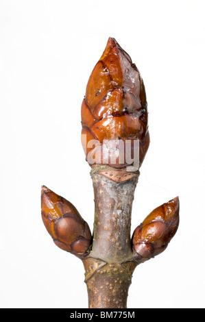 Buds of horse chestnut, Aesculus hippocastanum - Stock Photo