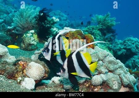 Longfin bannerfish (Heniochus acuminatus). Bali, Indonesia. Indo-Pacific. - Stock Photo