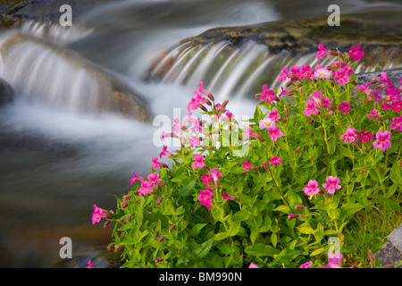Mount Rainier National Park, WA Lewis' Monkeyflower (Mimulus lewisii) blooming along the Paradise River - Stock Photo