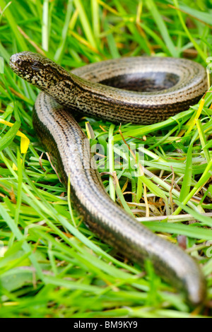 Slow Worm - Anguis fragilis - Stock Photo