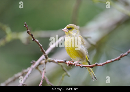 European greenfinch (Carduelis chloris) perched in a tree in winter - Stock Photo