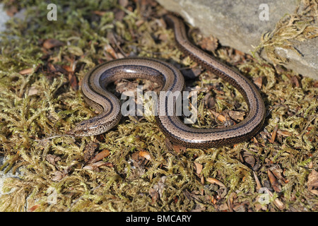 Female slow worm (Anguis fragilis) crawling on mossy stone - Stock Photo