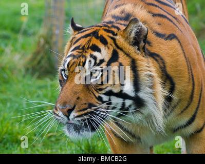 A Sumatran Tiger close-up intently staring - Stock Photo