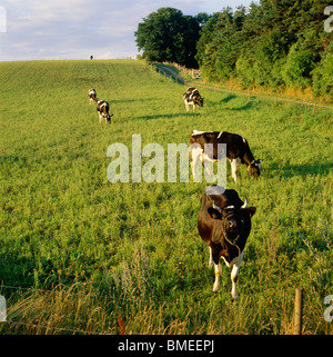 Domestic cattle grazing in meadow - Stock Photo