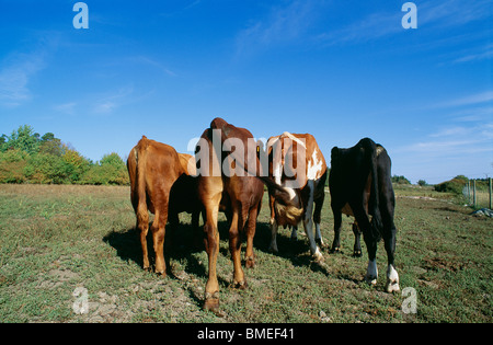 View of domestic cattle grazing in field - Stock Photo
