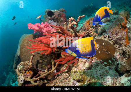 Blue-girdled angelfish swimming past soft coral on reef.  Misool, Raja Ampat, West Papua, Indonesia. - Stock Photo