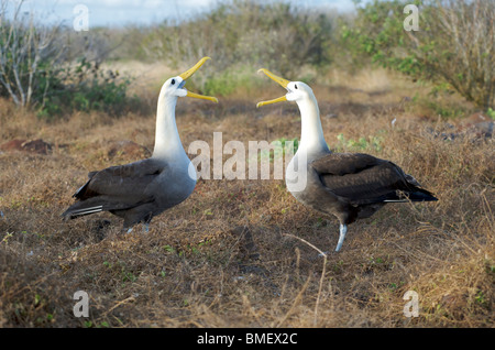 Waved Albatross birds.  Pair at nest seen in courtship ritual display.  Espanola Island, Galapagos Islands, Pacific. - Stock Photo