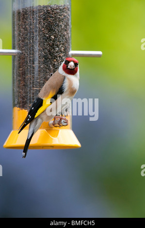 Goldfinch on a nyjer bird seed feeder in a garden - Stock Photo