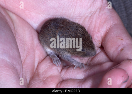 Rescued baby wood mouse Apodemus sylvaticus  in childs hand. England - Stock Photo