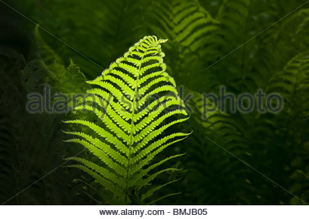 Fern in sunshine in Ontario Canada - Stock Photo