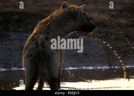 Botswana, Chobe National Park, Spotted Hyena (Crocuta crocuta) drinking from water hole in Savuti Marsh at sunset - Stock Photo