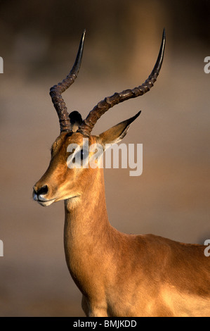 Botswana, Chobe National Park, Adult Male Impala (Aepyceros melampus) in Savuti Marsh at sunset - Stock Photo