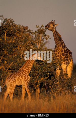 Africa, Botswana, Chobe National Park, Adult and infant Giraffe (Giraffa camelopardalis) in Savuti Marsh at sunset - Stock Photo