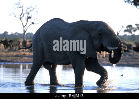 Africa, Botswana, Chobe National Park, Elephant (Loxodonta africana) drinks from water hole near Savuti Marsh at - Stock Photo