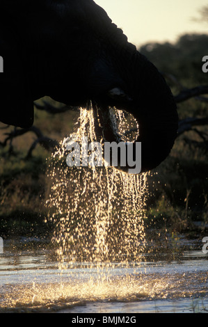 Africa, Botswana, Chobe National Park, Elephant (Loxodonta africana) drinks from water hole near Savuti Marsh at - Stock Photo