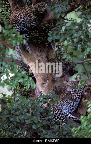 Africa, Kenya, Masai Mara Game Reserve, Adolescent Male Leopard (Panthera pardus) resting with mother in tree branches - Stock Photo