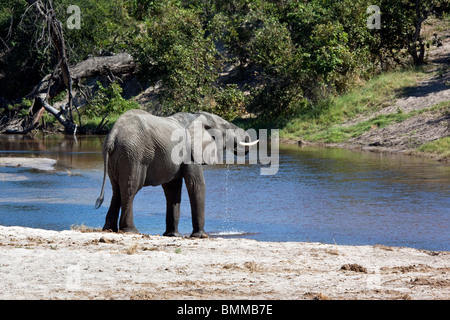 An African Elephant (Loxodonta africana) drinking from the newly flooded Savuti Channel in Northern Botswana. - Stock Photo