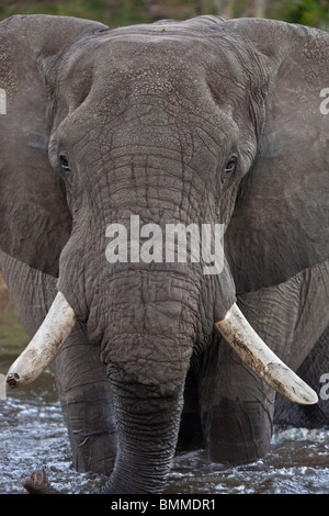 An African Bull Elephant (Loxodonta africana) crossing the newly flooded Savuti Channel in the Savuti region of - Stock Photo