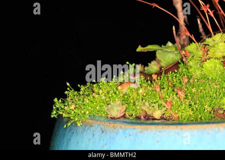 SLOWWORM (Anguis fragilis) APPROACHING SLUG AT NIGHT - Stock Photo