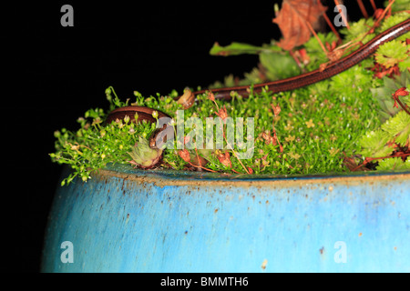 SLOWWORM (Anguis fragilis) HUNTING IN PLANT POT AT NIGHT - Stock Photo
