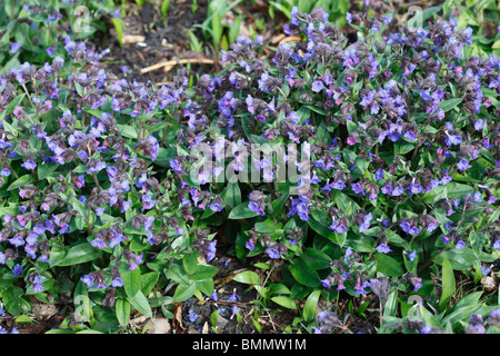 plant in flower early spring - Stock Photo
