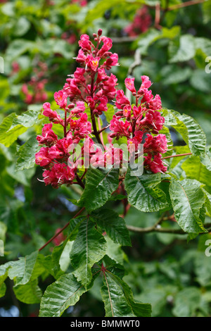 Red horse chestnut (A x Carnea) close up of flowers - Stock Photo
