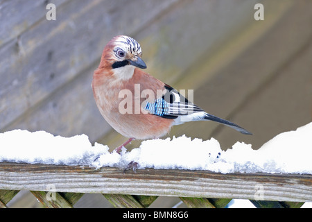 Jay   (Garrulus glandarius) Perched on garden fence in snow - Stock Photo