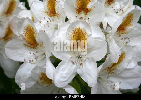 White Azalea Flowers With Yellow Splash Taken at Ness Botanic Gardens, Wirral, UK - Stock Photo
