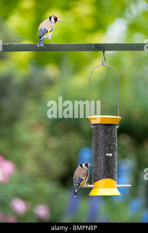 Goldfinch on a nyjer bird seed feeder in an english garden - Stock Photo