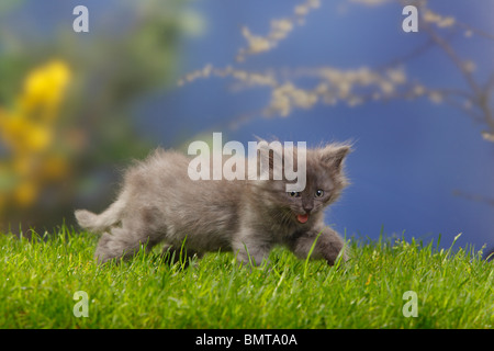 Siberian Forest Cat, kitten, 7 weeks, blue-silver / Siberian Cat, Siberia - Stock Photo