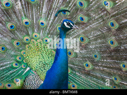 Peacock strutting around with feathers out.looking at camera.colourful beauty. - Stock Photo