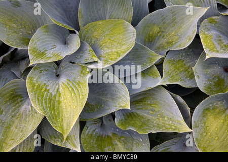 Hosta Blue Angel plant leaves, Lurie Garden, Millennium Park, Chicago, Illinois - Stock Photo