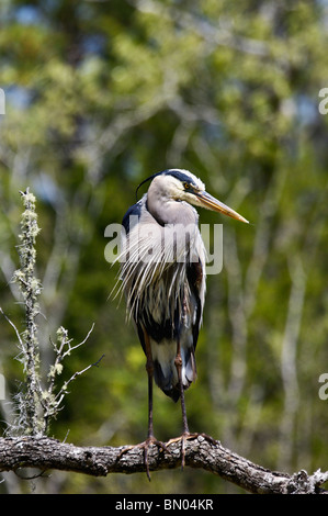 Great Blue Heron Perched on Branch in the Audubon Swamp Garden at Magnolia Plantation in Charleston County, South - Stock Photo