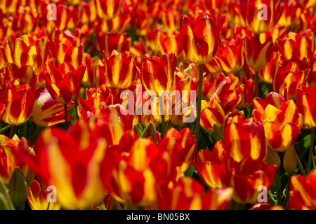 Bi-color blooming Georgette tulips field Holland Michigan no not people nobody isolated from above top view - Stock Photo