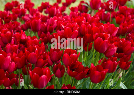 A close-up of blooming Red Georgette tulips taken in Holland Michigan no not people nobody isolated from above top - Stock Photo