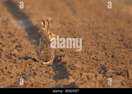 European Brown Hare (Lepus europaeus) sitting in a rut on a field. - Stock Photo