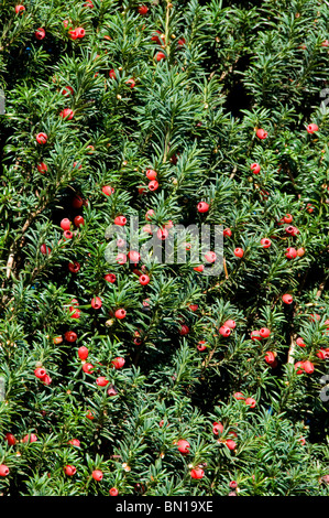 Red berries on common yew, Taxus baccata - Stock Photo