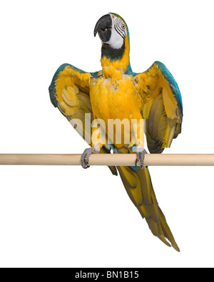 Young Blue-and-yellow Macaw perching in front of white background - Stock Photo