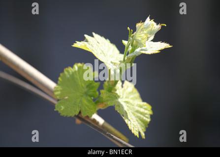 Young bud of Vitis vinifera in early springtime, Male Karpaty, Slovakia. - Stock Photo