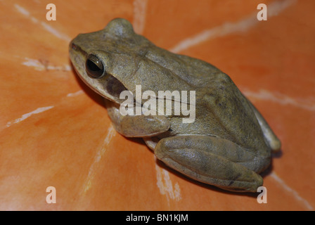 Common Indian Tree Frog (Polypedates maculatus) is sitting on pumpkin in Mocha village near Kanha National Park - Stock Photo