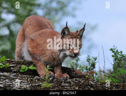 Siberian Lynx - Stock Photo