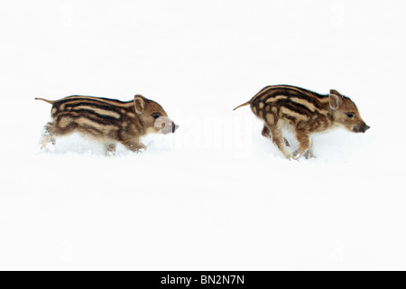 European Wild Pig or Boar (Sus scrofa) two piglets running through snow, Germany - Stock Photo