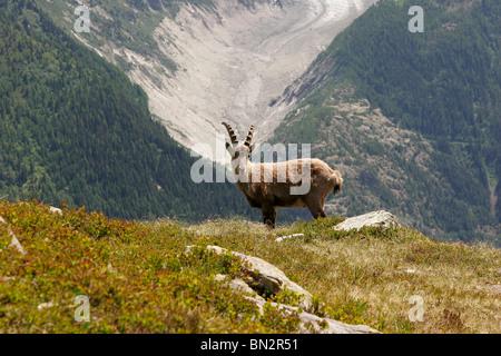 Alpine Ibex (Capra ibex) in the Mont Blanc Massif, near Chamonix-Mont-Blanc, France, Europe - Stock Photo