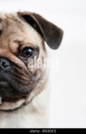 Portrait of a pug puppy, close-up - Stock Photo
