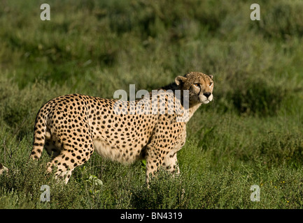 Cheetah standing alert in the grass in the wild, in the Serengeti in Tanzania - Stock Photo