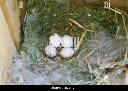 Tufted Titmouse Nest with Eggs - Vertical - Stock Photo