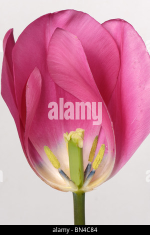 Section through a tulip flower China Pink to show structure - Stock Photo