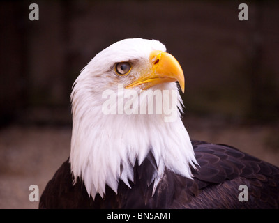 Bald Eagle in the Batsford Falcony, Moreton-in-Marsh - Stock Photo