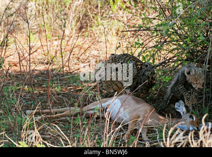 Cheetah mother with cubs eating an Impala kill in Samburu national Reserve, Kenya, East Africa. - Stock Photo